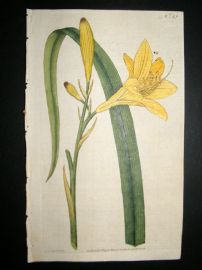 Curtis 1787 Hand Col Botanical Print. Yellow Day-Lily #19,